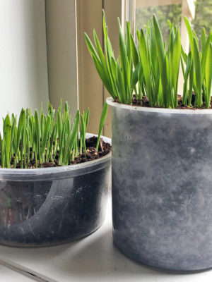 DIY: Grow Your Own Cat Grass #LetsLiveBig #PurinaPetPeople